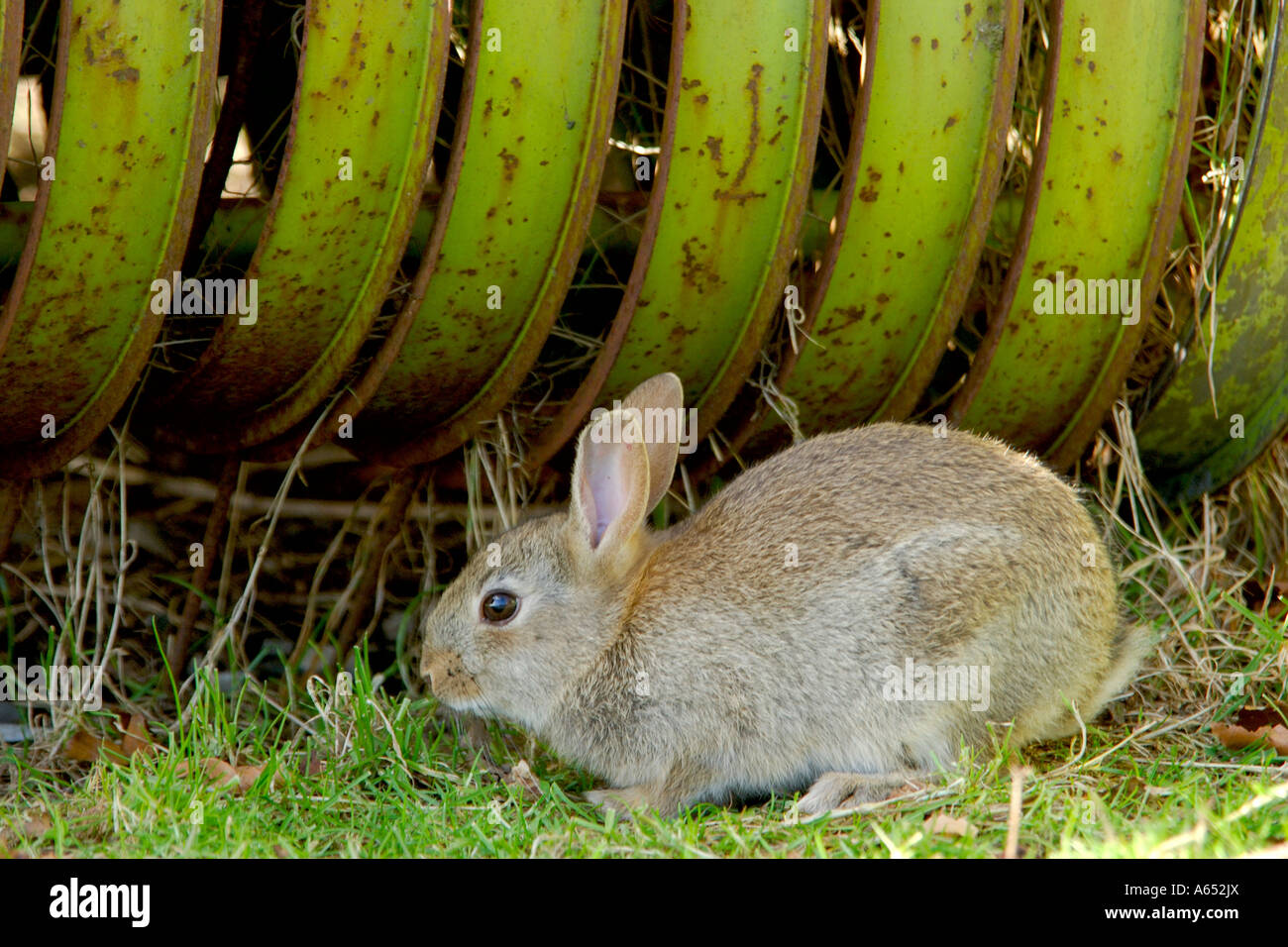 Wild grey rabbit sitting on grass in front of a large piece