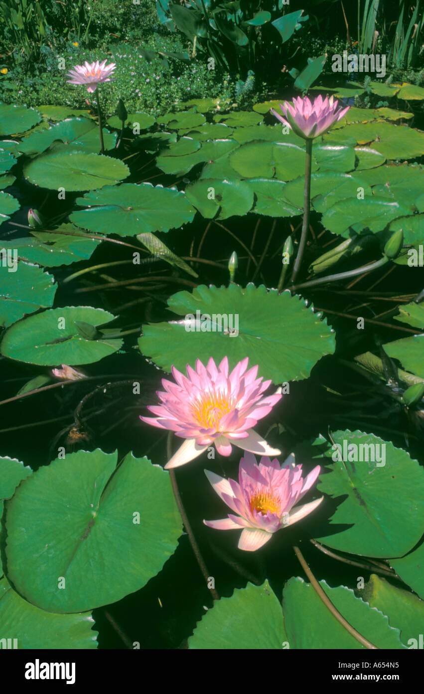 Lily pads spanish mission california united states of america lily pads spanish mission california united states of america izmirmasajfo