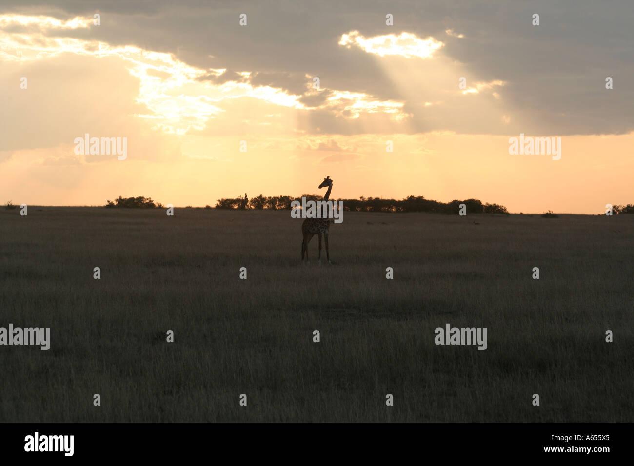 Kenya, Giraffe, african MASAI ( or KILIMANJARO ), Masai Mara at sunset Stock Photo