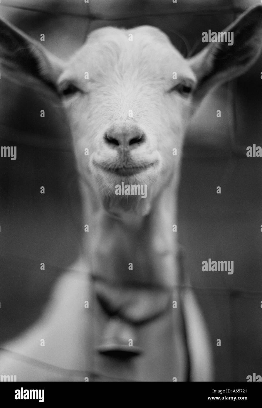 Goat - Stock Image