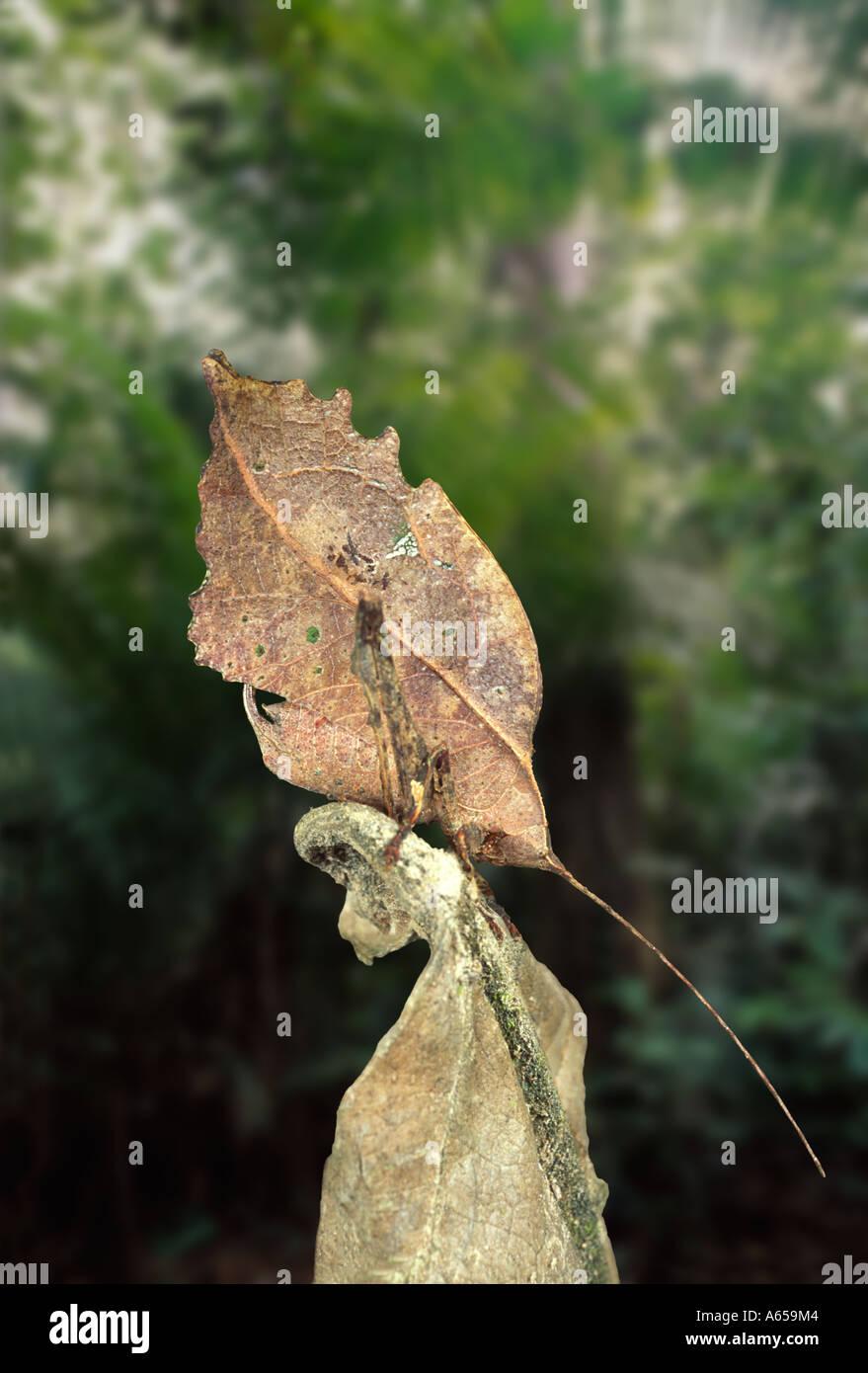 Leaf-mimic katydid, 'leaf insect', Typophyllum sp., Amazon rainforest, Loreto, Peru. Evolution - Stock Image