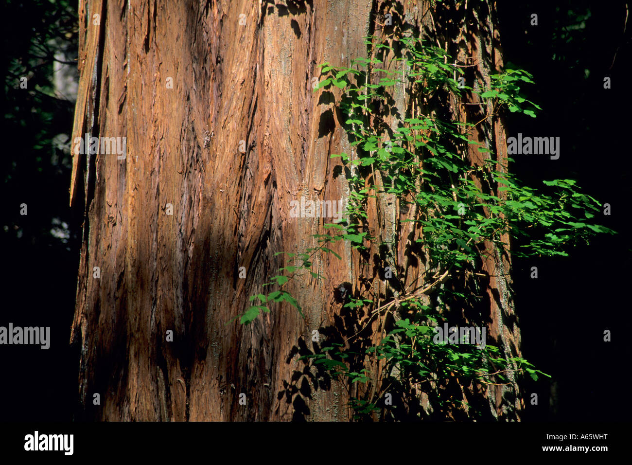 Redwood Tree Armstrong Redwoods State Reserve Sonoma County California - Stock Image