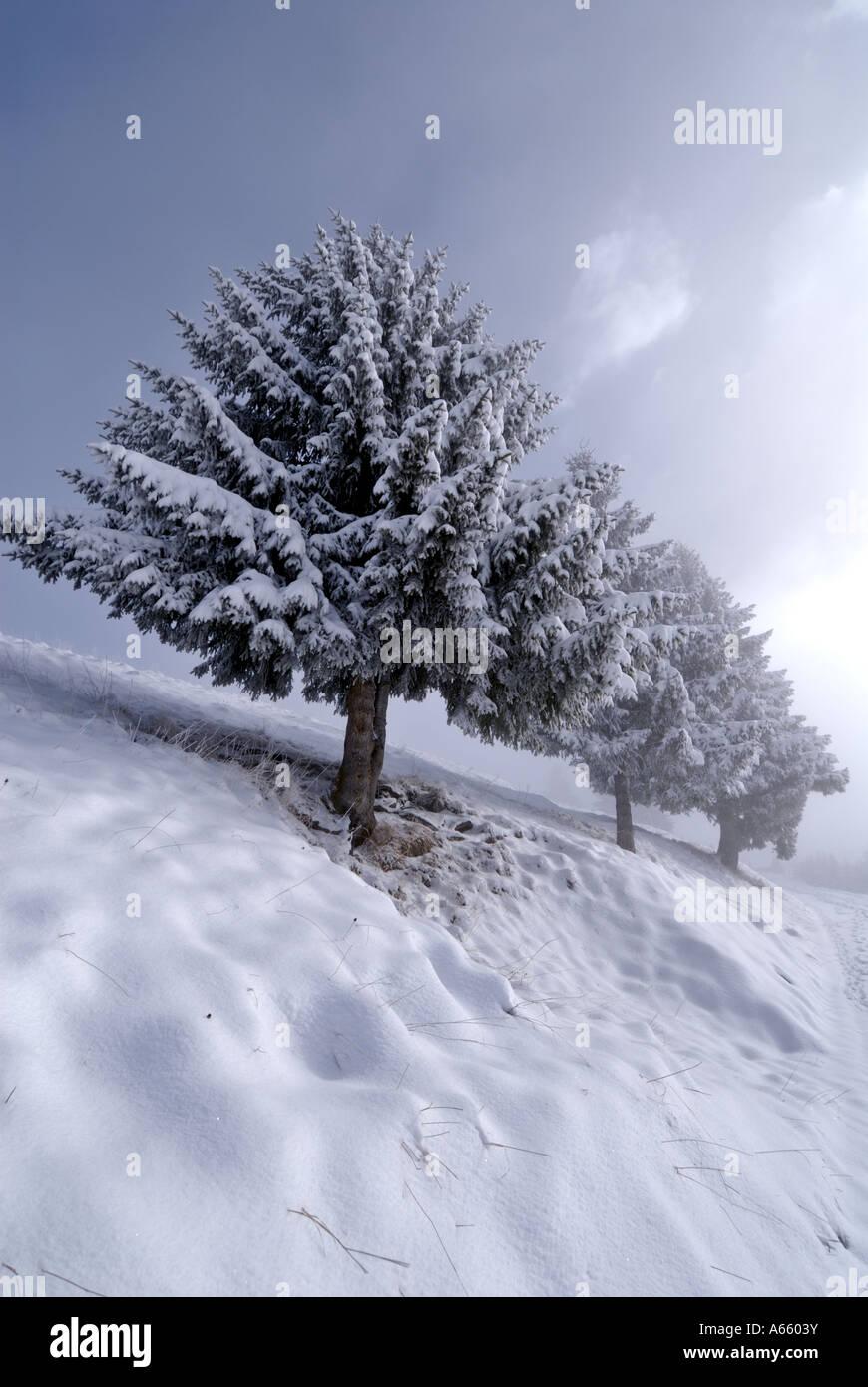 Snowy alpine fir Trees Villars sur Ollon, Switzerland, Europe - Stock Image