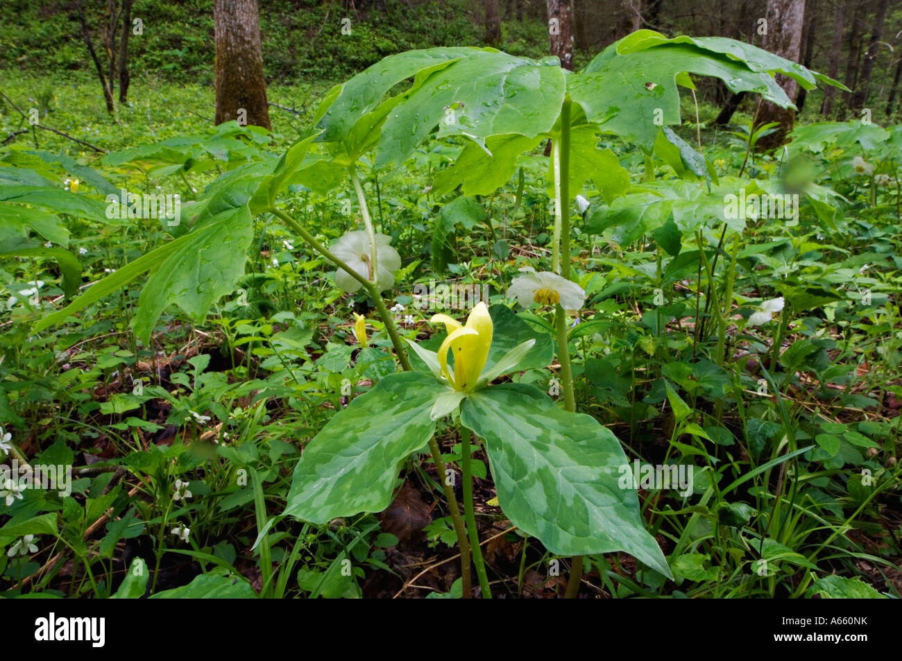 Yellow Trillium Mayapple And Other Woodland Flowers And Plants At