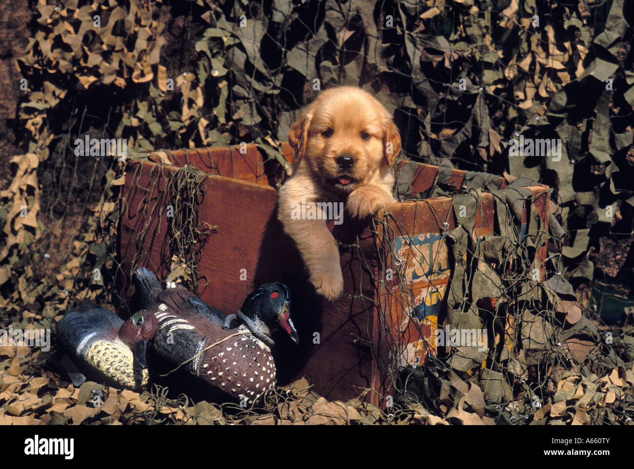 Golden Retriever Puppy Peering Out of Old Fruit Box Surrounded with Camouflage Netting and Duck Decoys - Stock Image