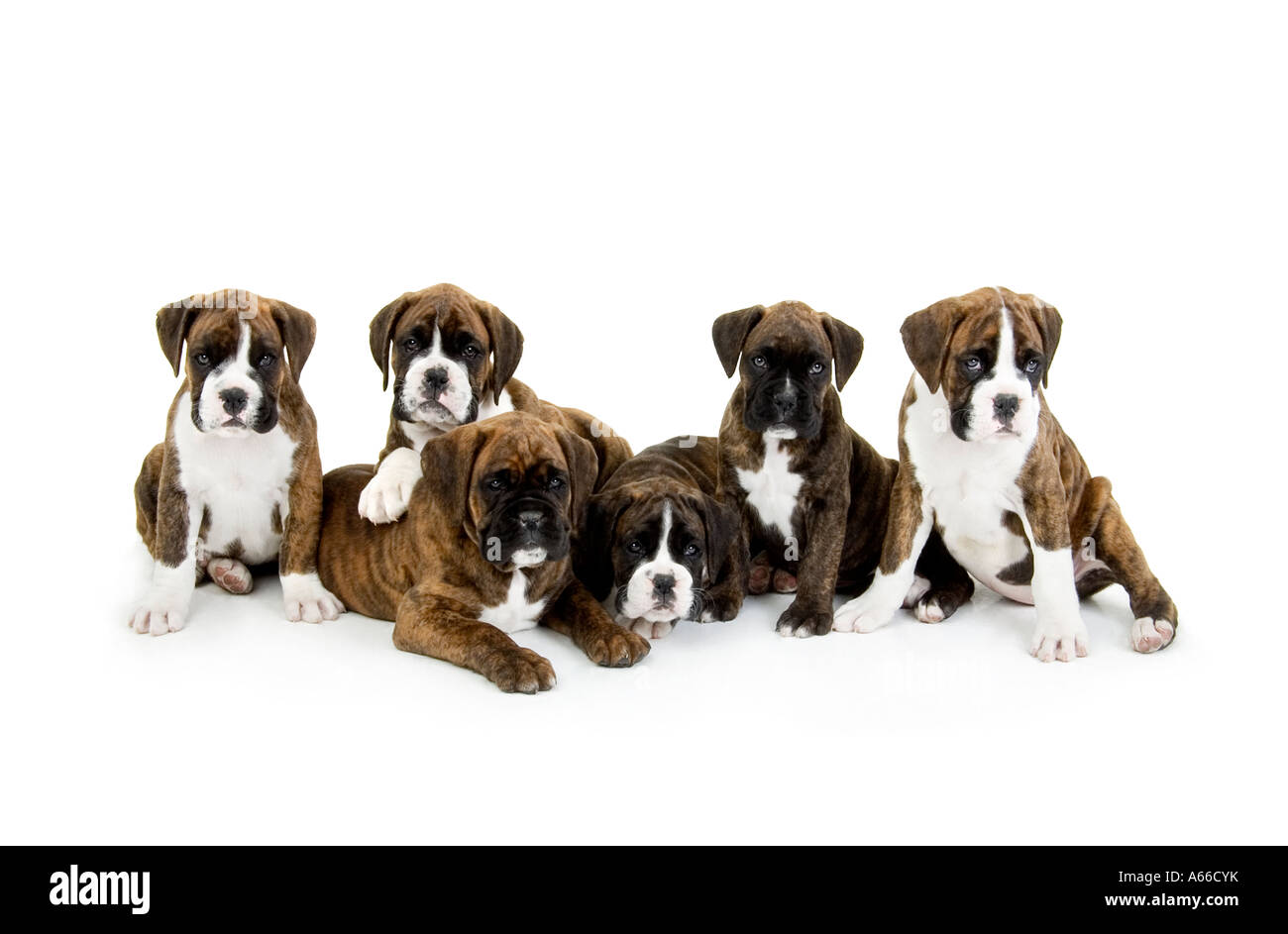 Group Of Boxer Dog Puppies Stock Photo 11475846 Alamy