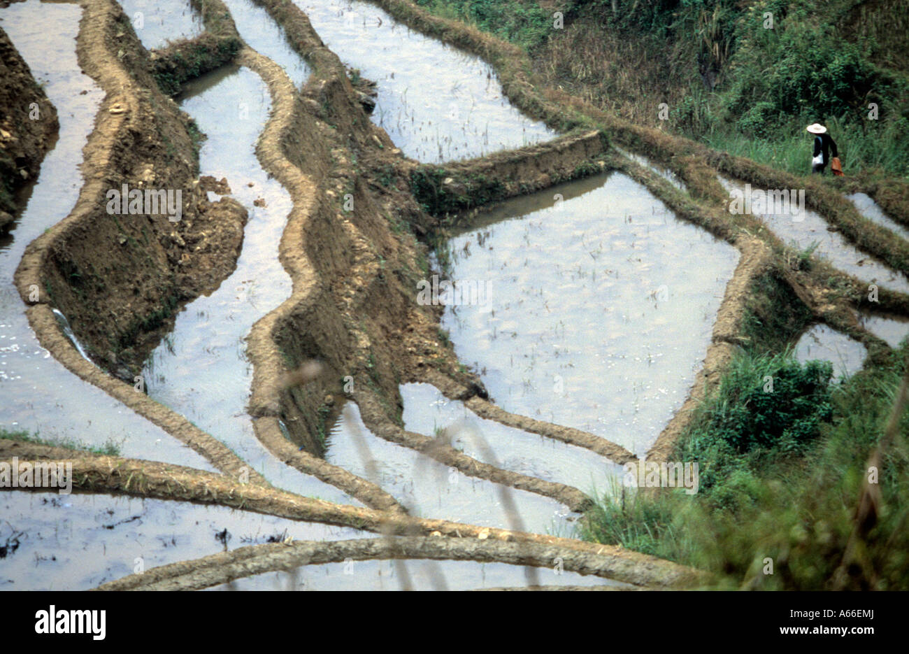 Farmer walking up the earthen walls  of the terraces of rice paddies. Yunnan, China. - Stock Image