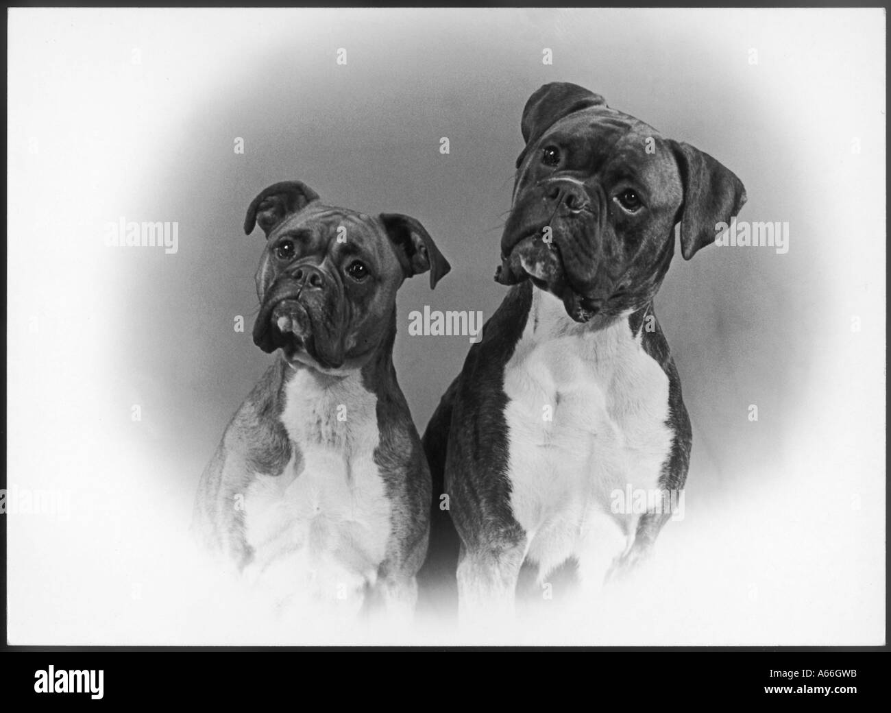 Boxer Two Heads 1953 - Stock Image