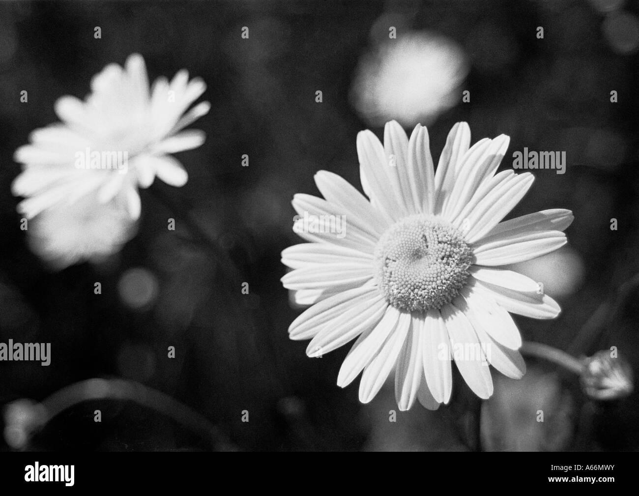 Black white image of a daisy flower in full bloom uk 2004 stock black white image of a daisy flower in full bloom uk 2004 izmirmasajfo