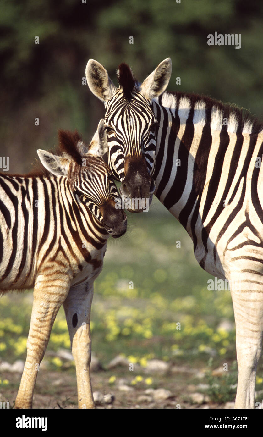 ZEBRA Mother and Baby Foal - Stock Image