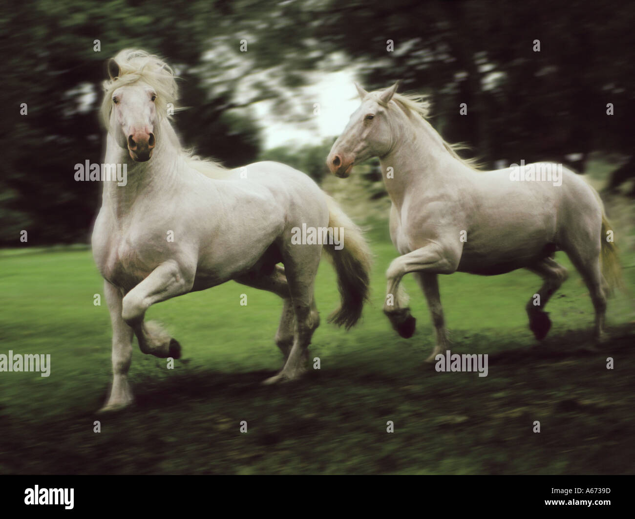 American White Draft Horse Stallion And Mare Trot Across Paddock Stock Photo Alamy