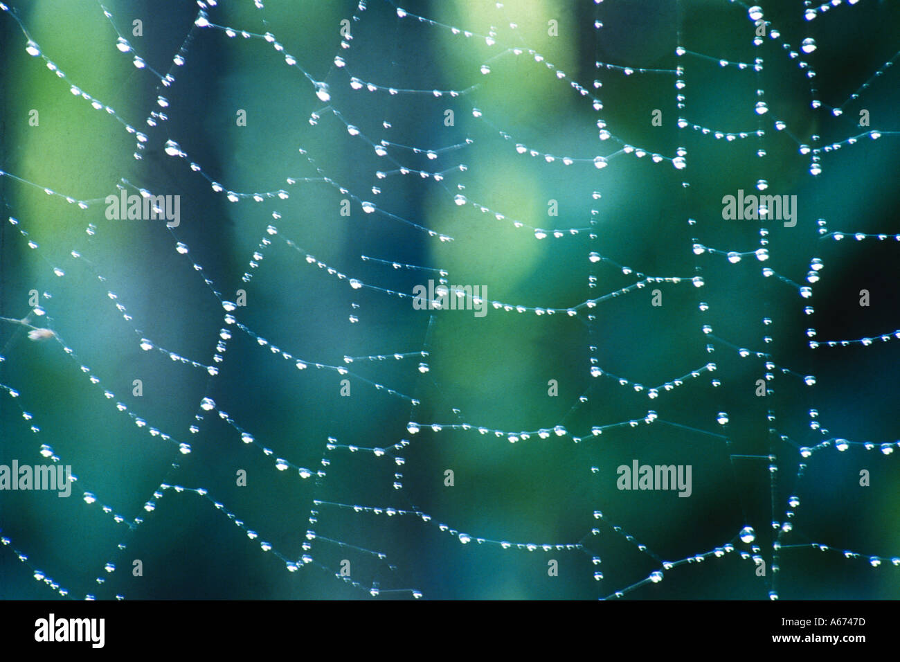 Spider web with dew drops sparkle - Stock Image
