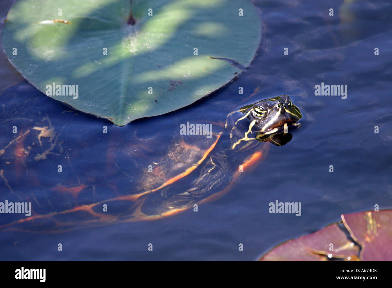 Florida Redbelly Turtle in water Everglades Florida Stock Photo