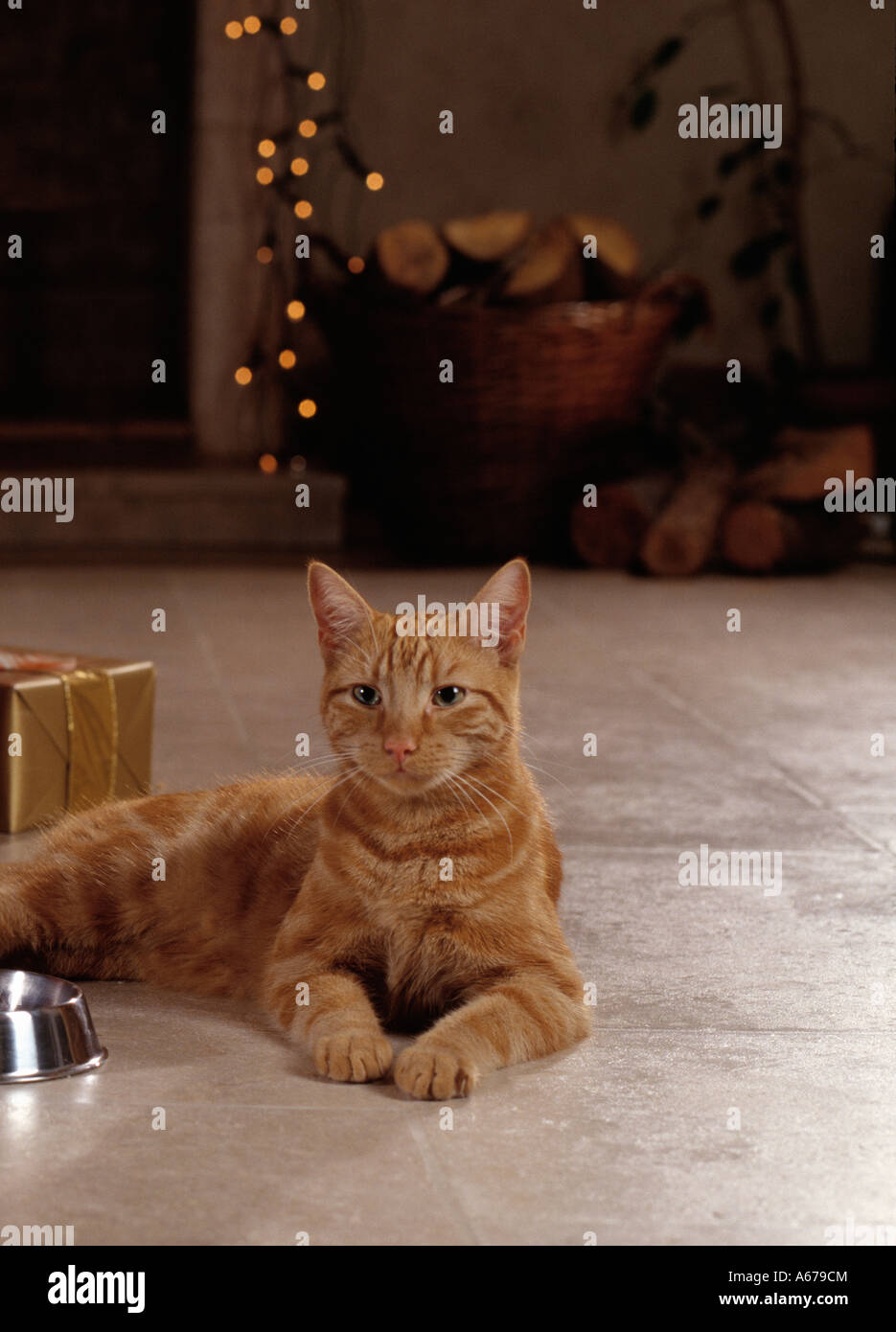 cat waiting in kitchen at christmas - Stock Image
