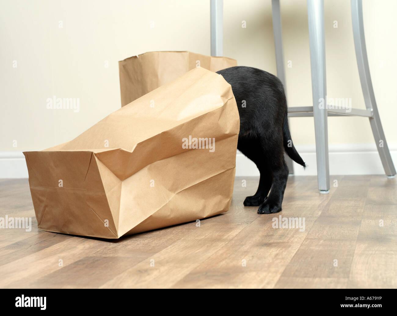 puppy exploring paper bag - Stock Image