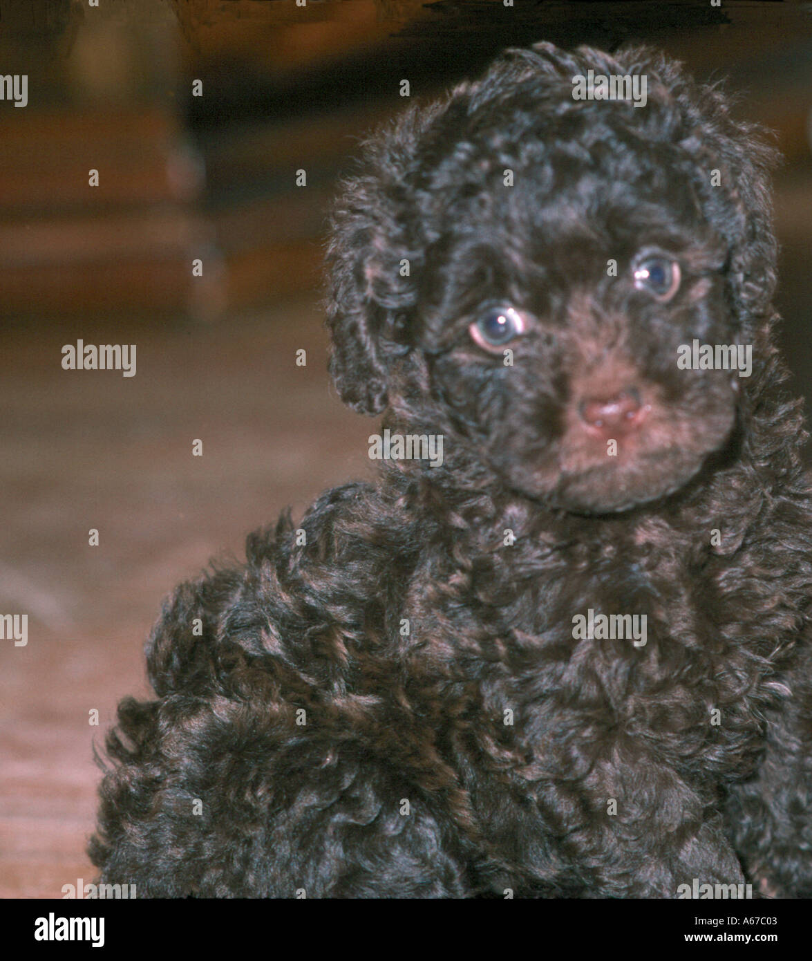 2 Month Old Brown Chocolate Poodle Puppy Stock Photo 424963 Alamy