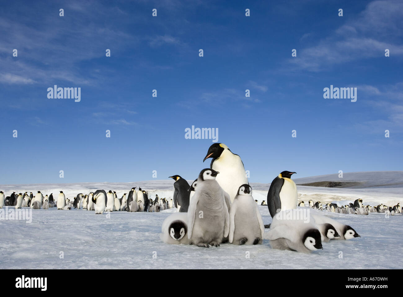 emperor penguins with cubs / Aptenodytes forsteri - Stock Image