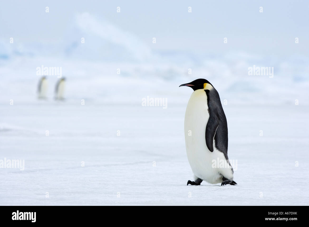 emperor penguin - walking lateral / Aptenodytes forsteri - Stock Image