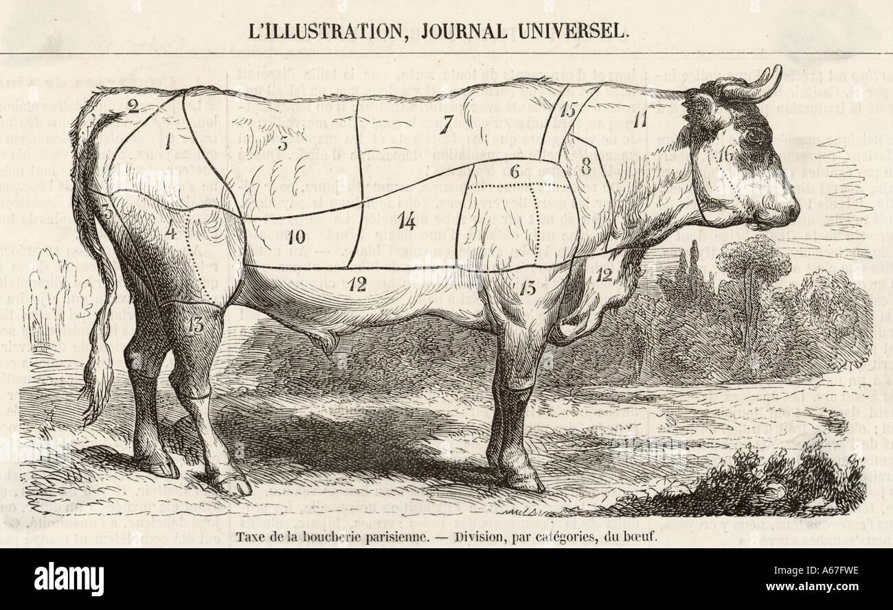 Beef Cuts Diagram 1855 - Stock Image