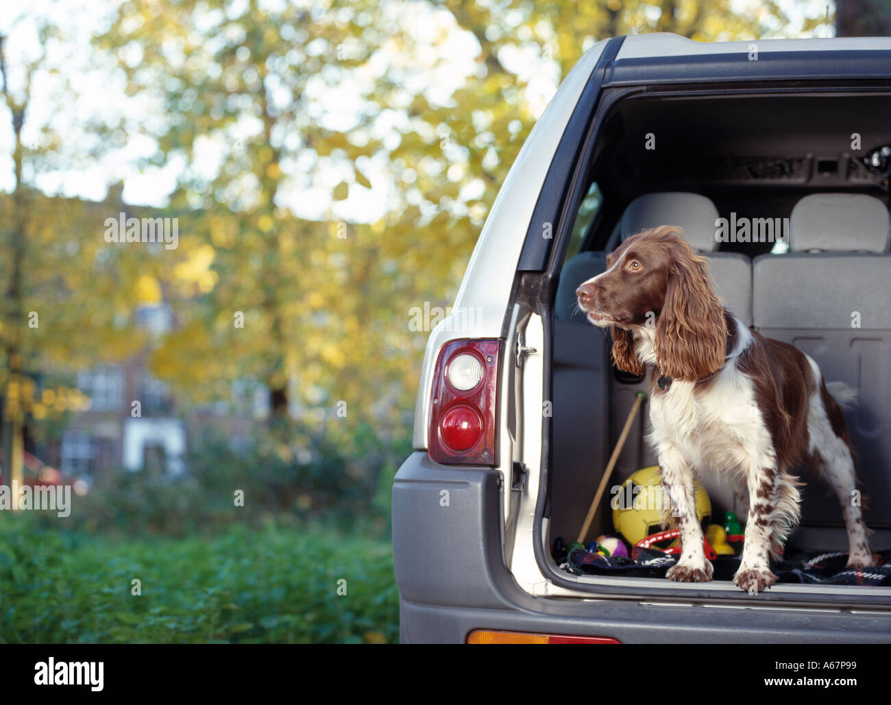 springer spaniel waiting in car boot - Stock Image