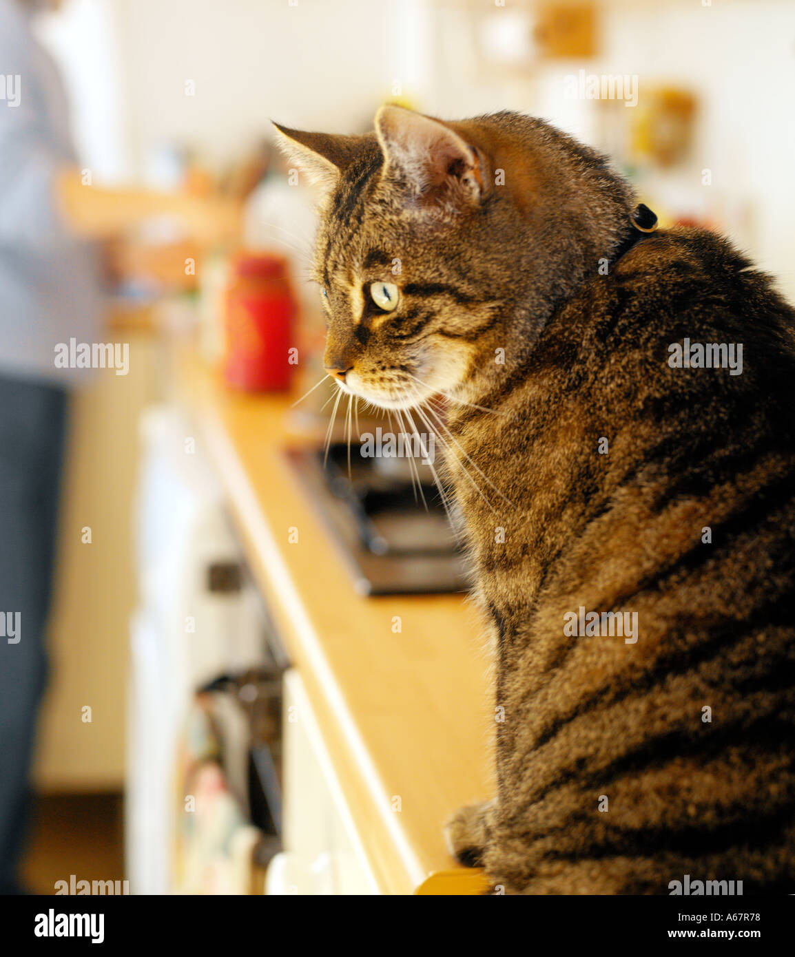 Tabby Cat sat on kitchen side waiting for food - Stock Image