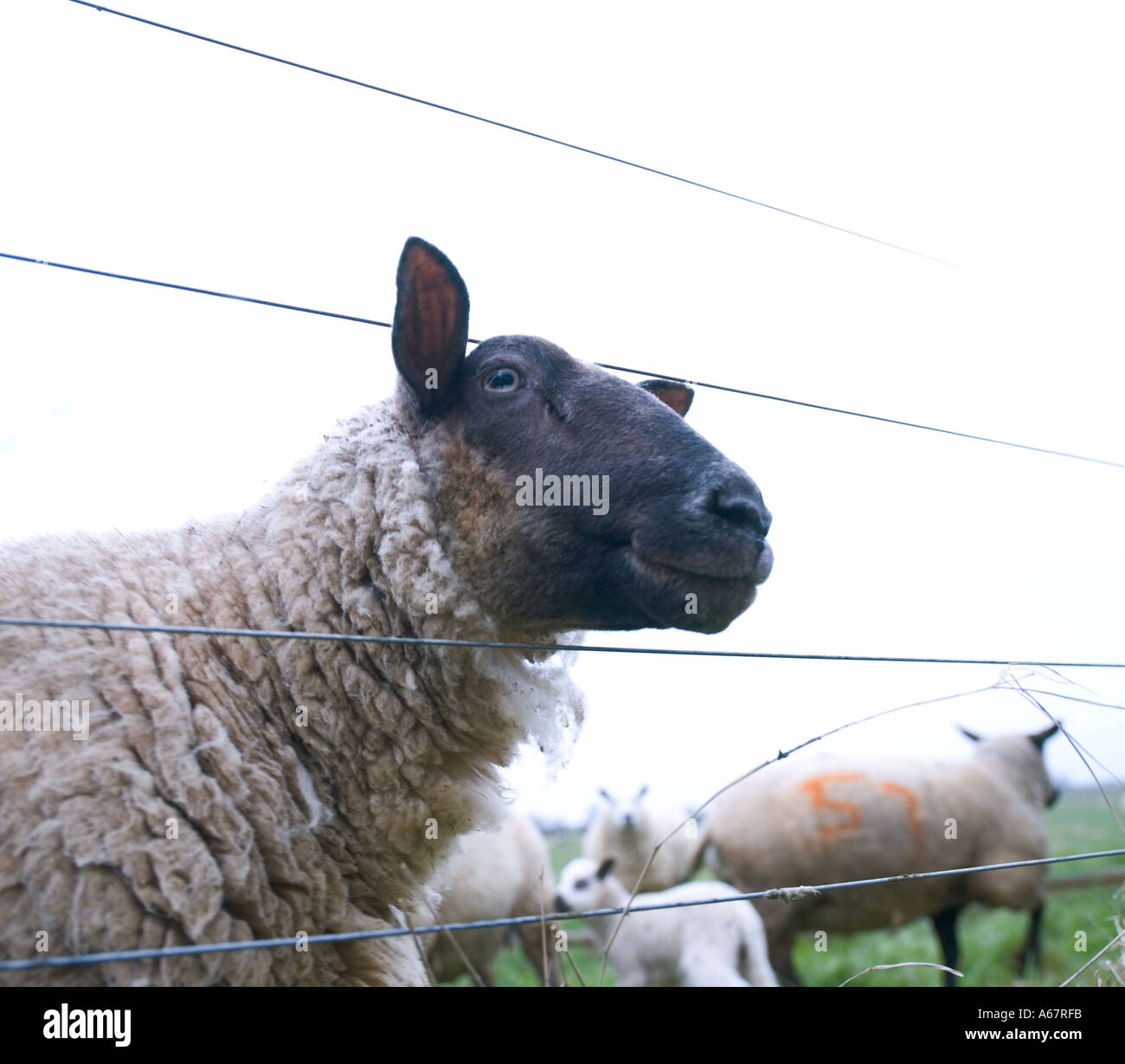 sheep peering through wire fence in field - Stock Image