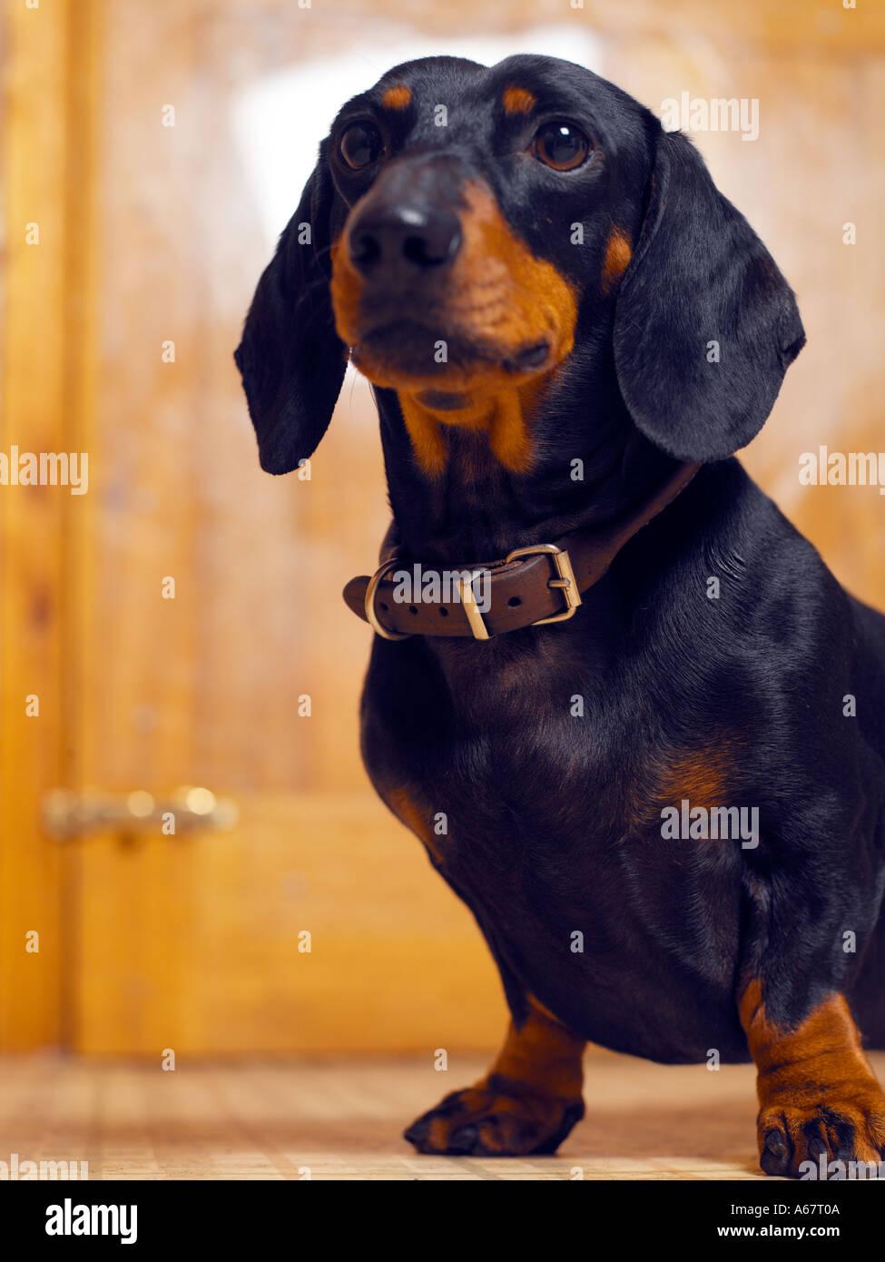 Dachshund dog Portrait - Stock Image