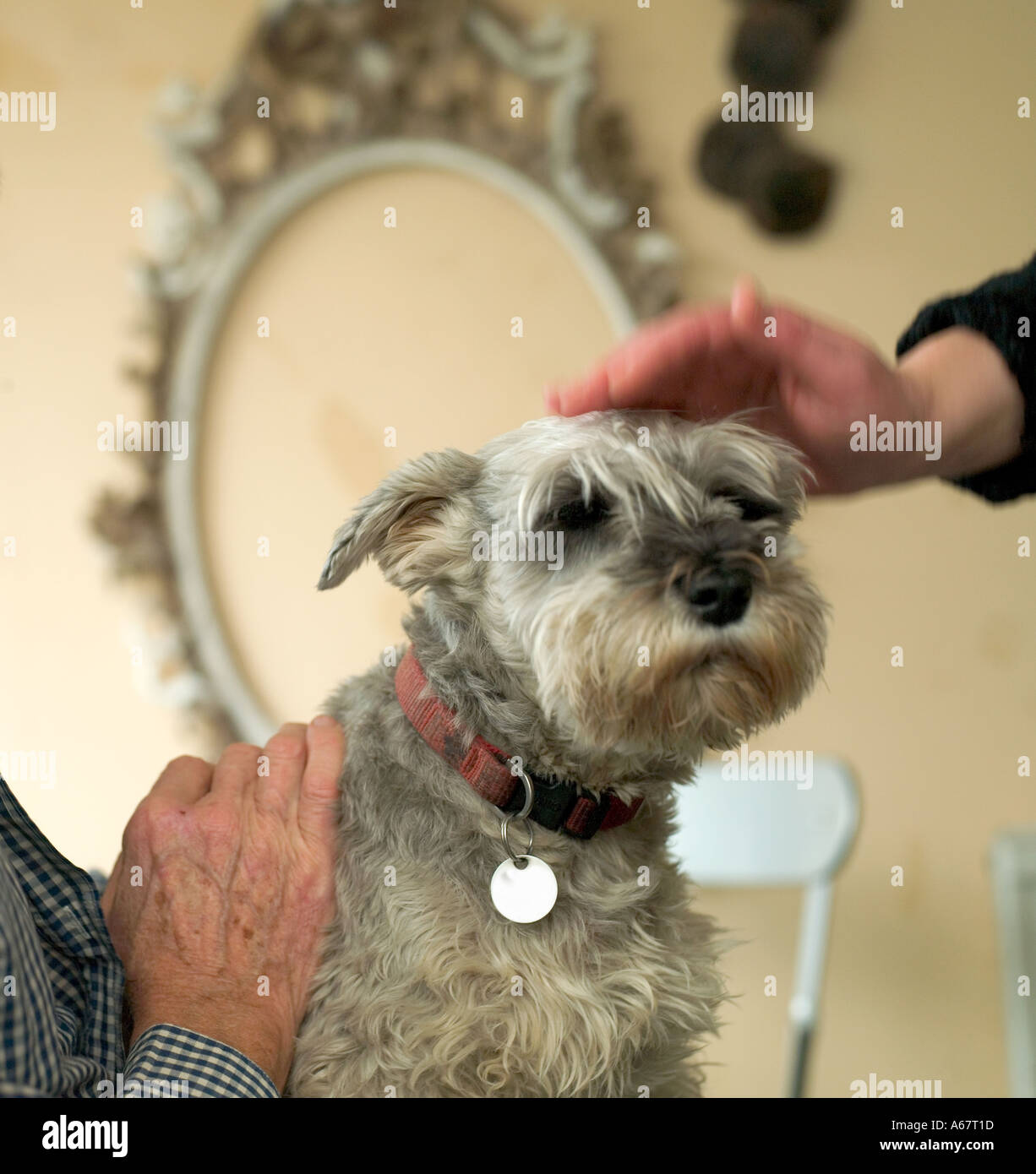 miniature schnauzer being patted on head in kitchen - Stock Image
