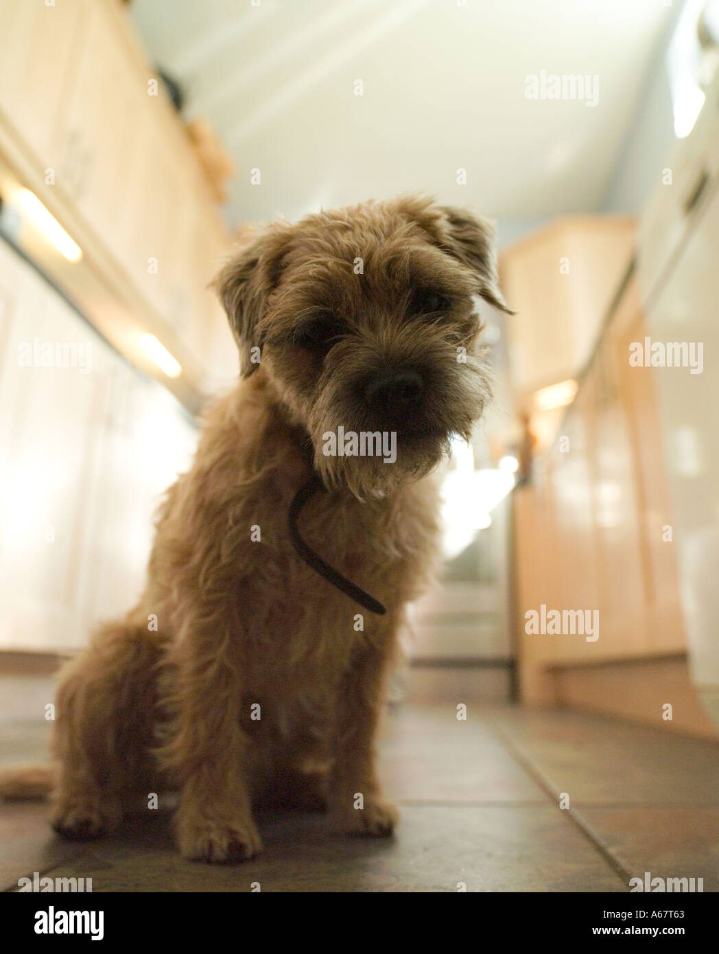 border terrier sat in kitchen - Stock Image