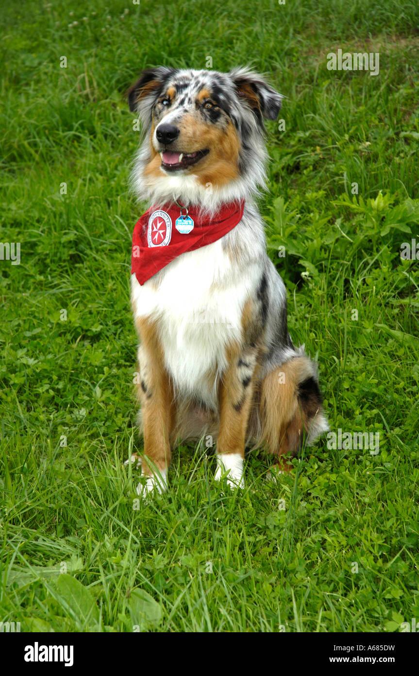Australian Shepherd (Canis lupus familiaris), rescue dog - Stock Image