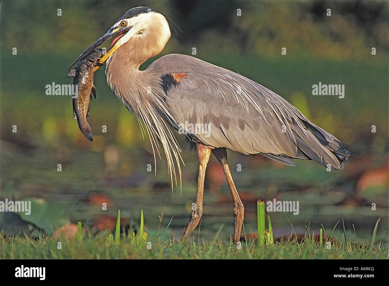 Great Blue Herron eating catfish near lily pond in Kenilwroth ...