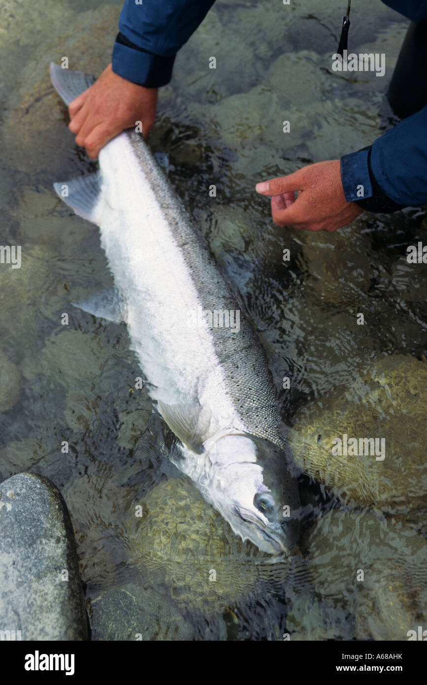 Summer run steelhead prior to release Dean river British Columbia - Stock Image