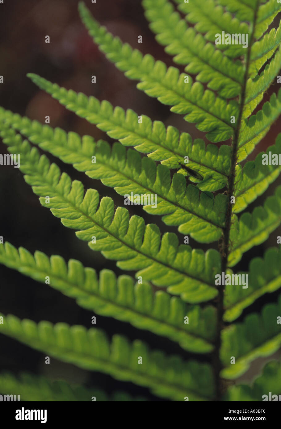 fern leaves growing in irish country garden, - Stock Image