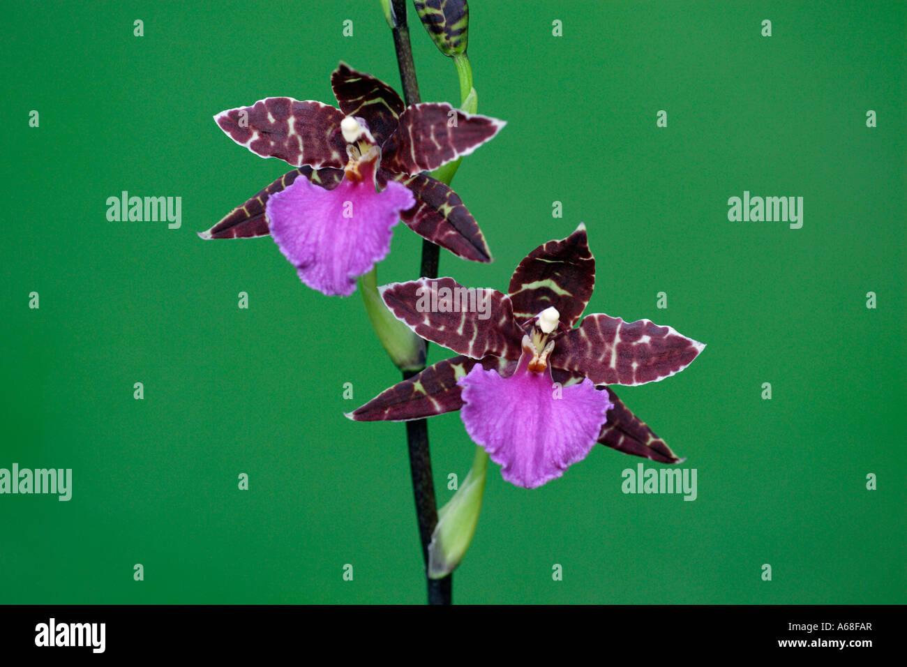 Tropical Orchid (Zygopetalum var.), flowering - Stock Image