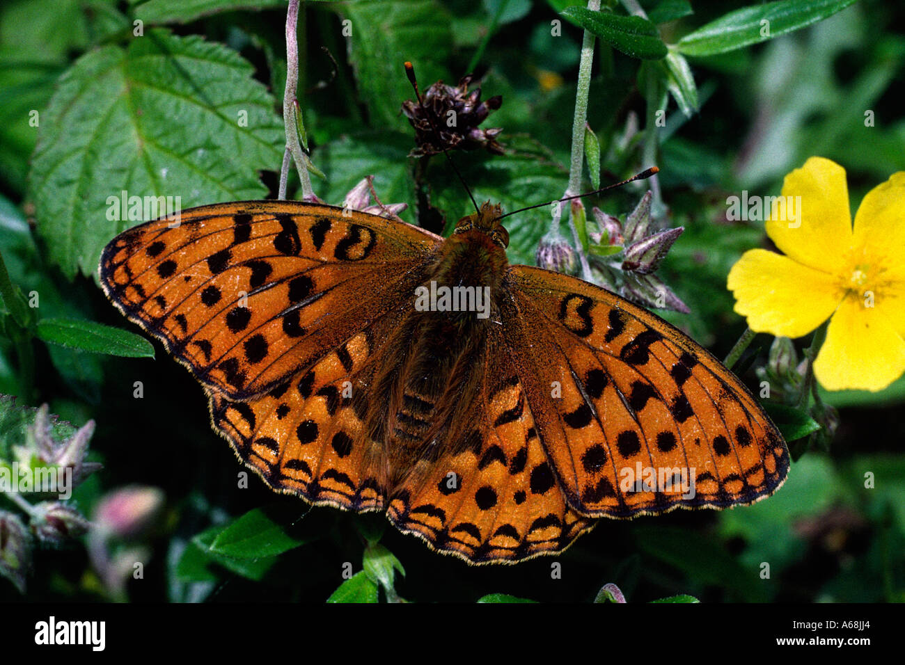 High Brown Fritillary Butterfly (Argynnis adippe). Cumbria, England. - Stock Image