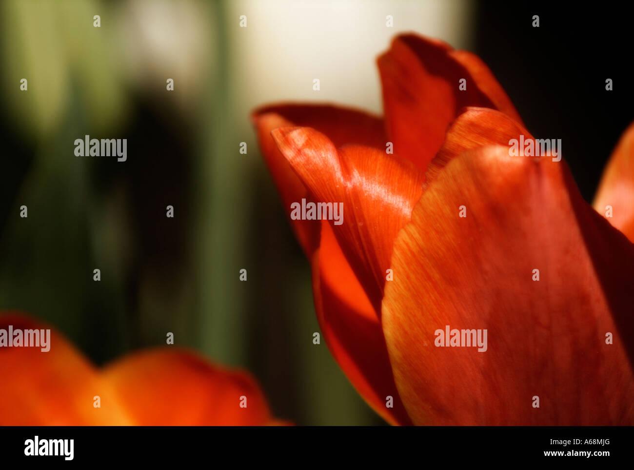 Close up of tulip (tulipa) flowers. Stock Photo