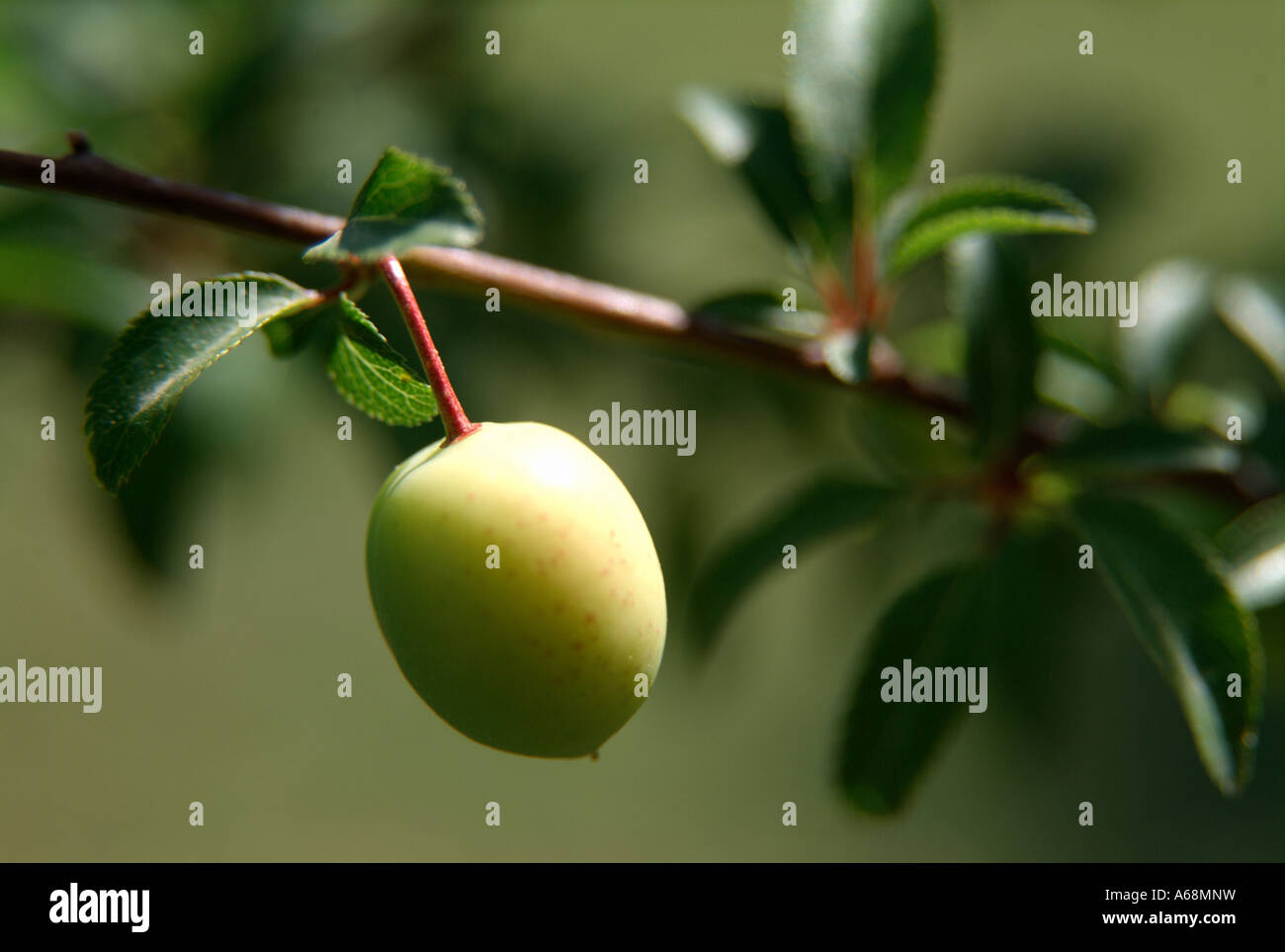 First plums on tree. Valencia. Spain. Stock Photo