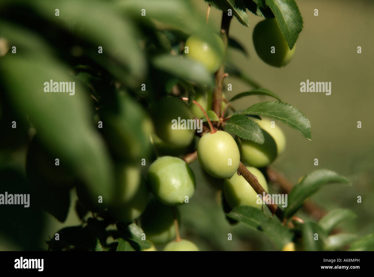 First plums on tree. Valencia. Spain. - Stock Image