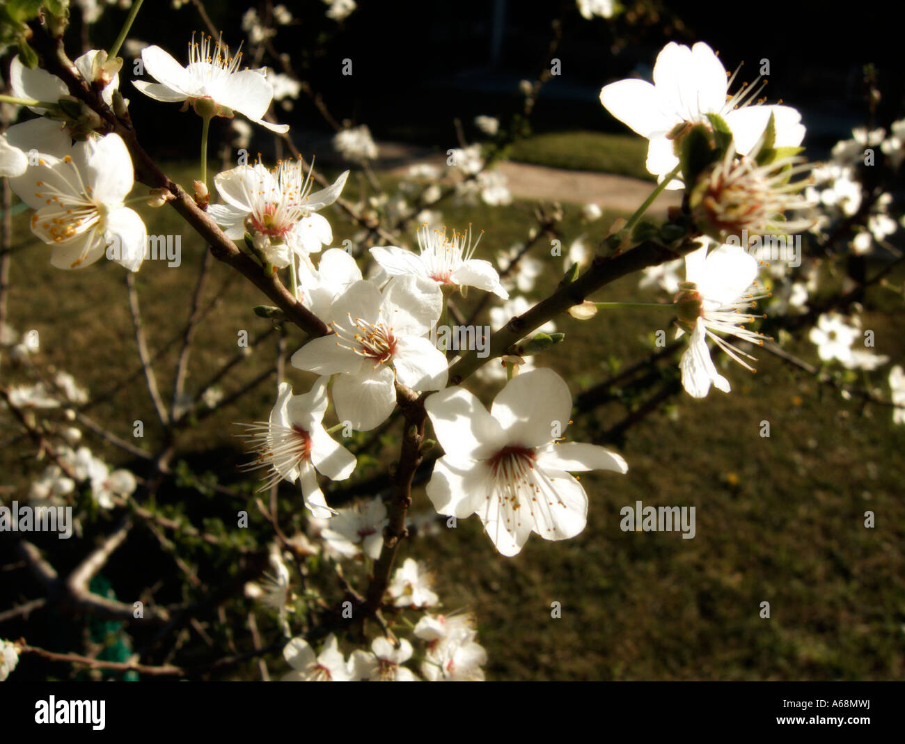 First plum blossoms of the season. Valencia. Spain. Stock Photo