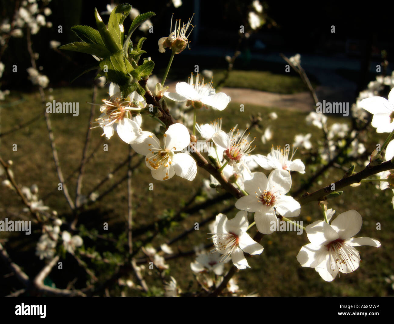 First plum blossoms of the season. Valencia. Spain. - Stock Image