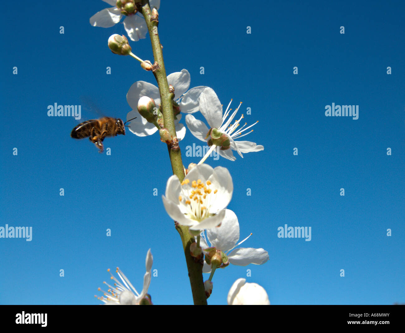 A bee collecting pollen in the first plum blossoms of the season. Valencia. Spain. - Stock Image