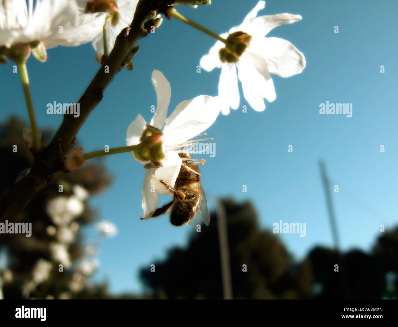 A bee collecting pollen in the first plum blossoms of the season. Valencia. Spain. Stock Photo