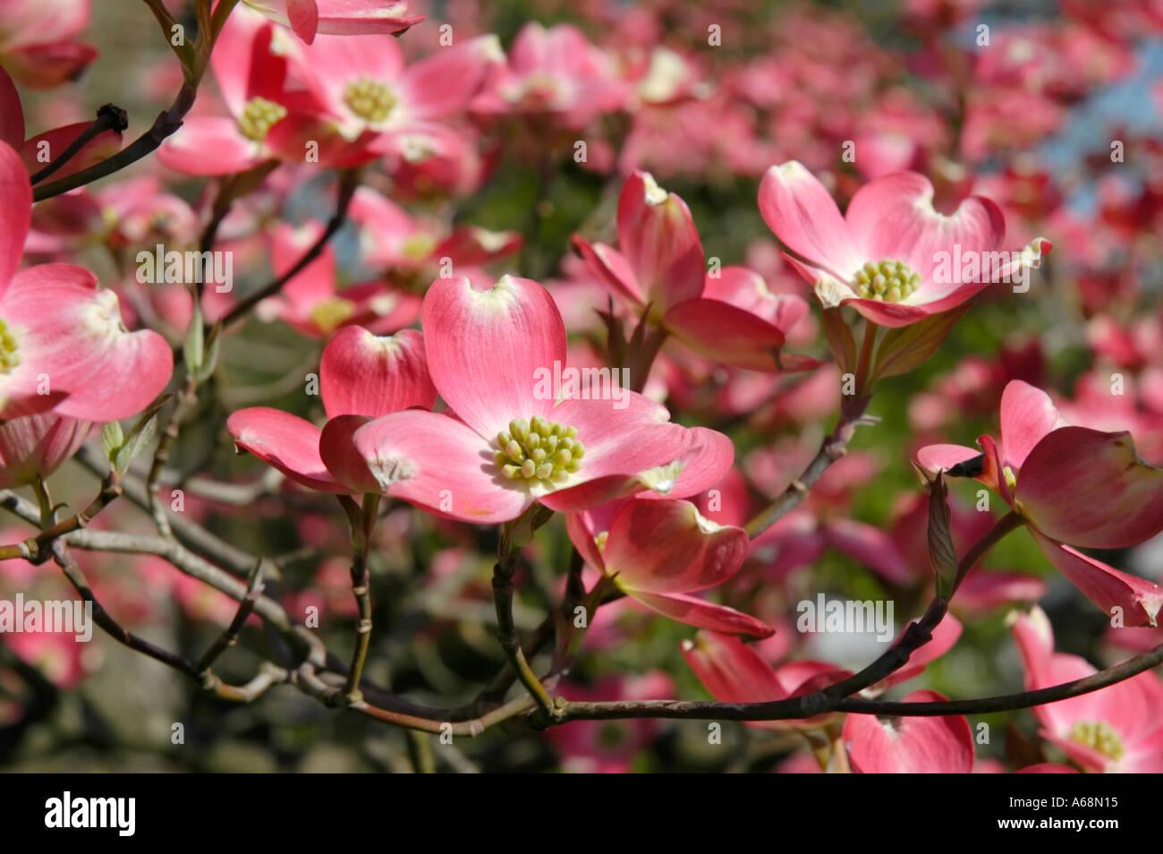 Pink Dogwood Blossoms Stock Photo 3753236 Alamy