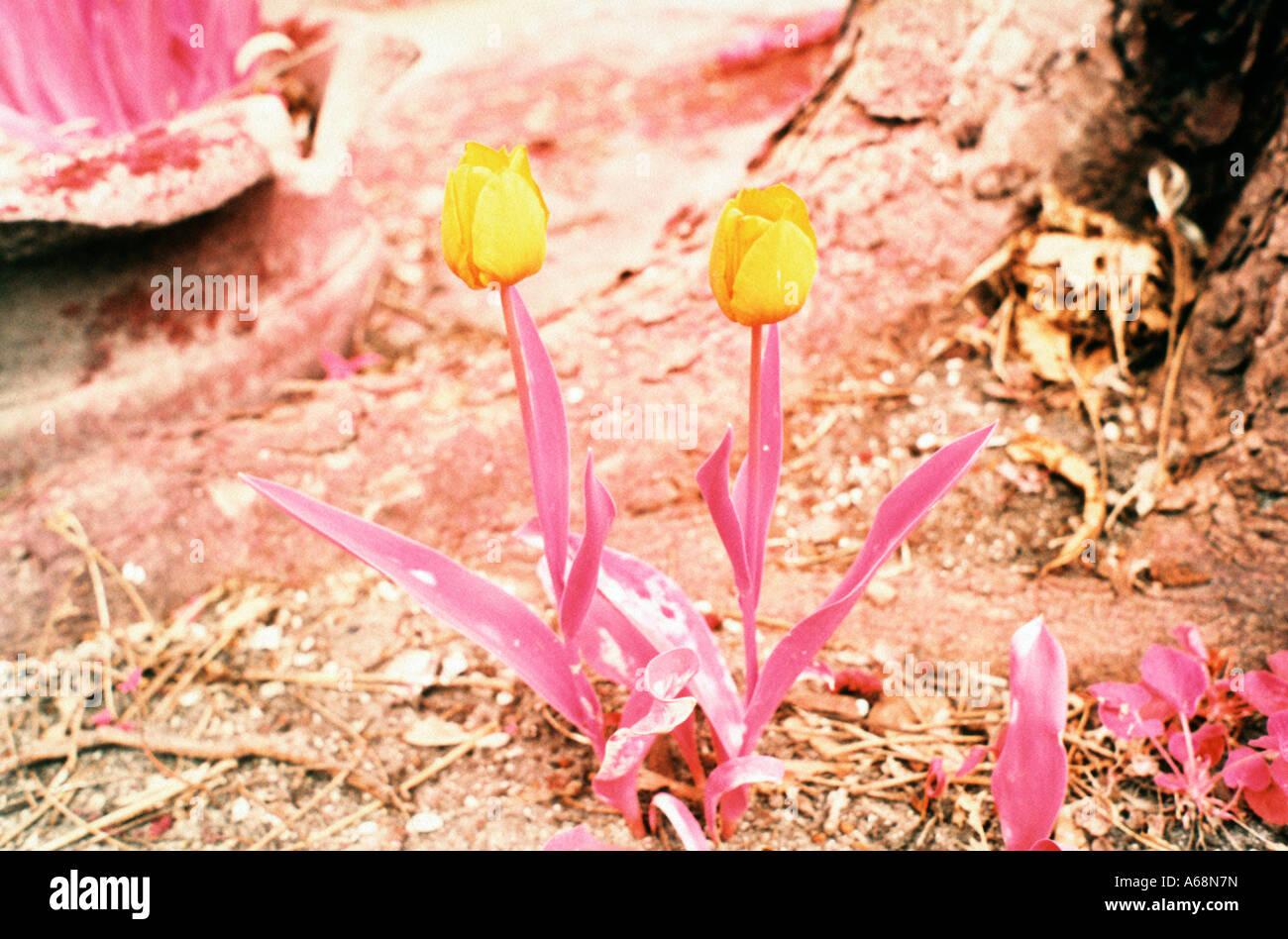 A pair of wild tulip flowers in a park Stock Photo
