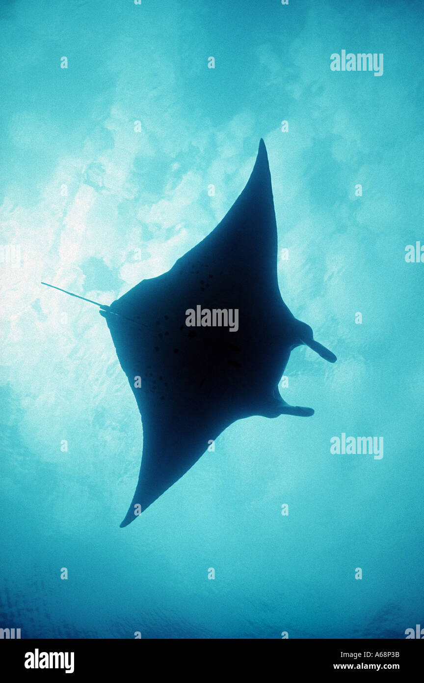 silhouette of giant manta ray at surface Stock Photo