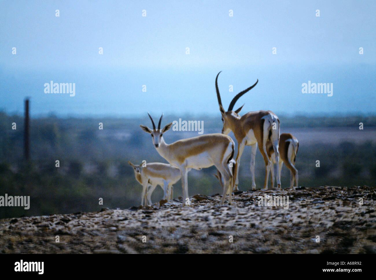 Abu Dhabi UAE Sir Bani Yas Island Nature Reserve Oryx - Stock Image