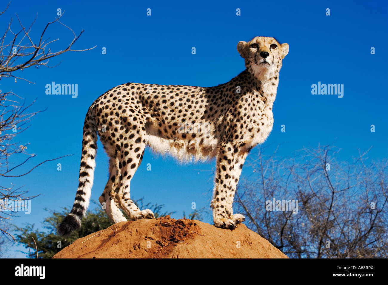 Cheetah Acinonyx jubatus using termite mound as look out point. Namibia - Stock Image