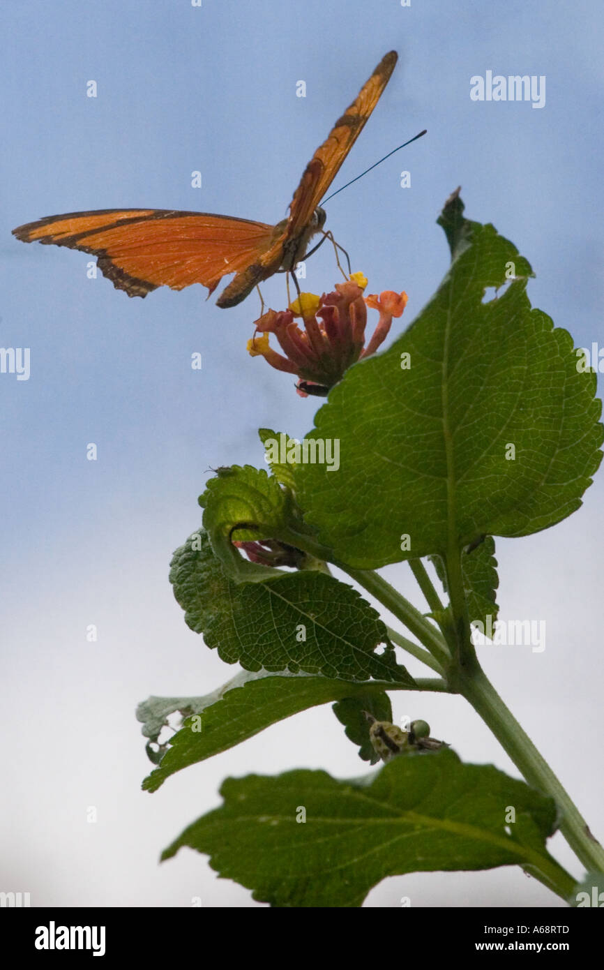 Orange julia longwing butterfly on a pink and yellow flower C Stock Photo