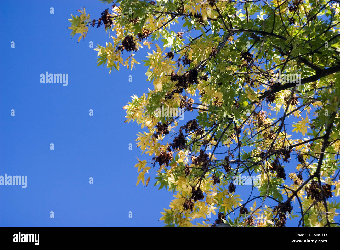 Green and yellow leaves of a tree against a bright blue sky Stock Photo