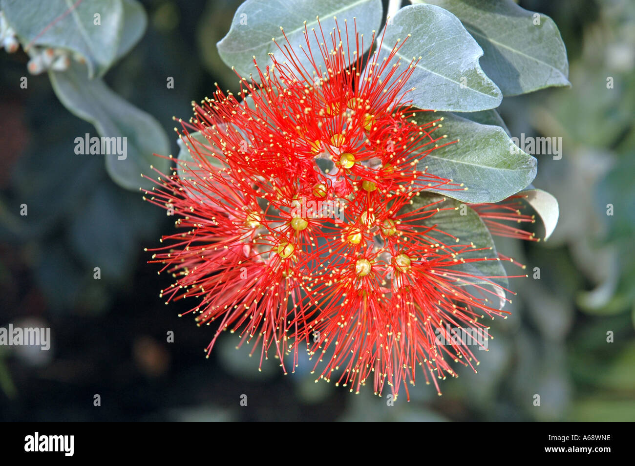 Metrosideros Excelsa Pohutukawa Also Called New Zealand Christmas